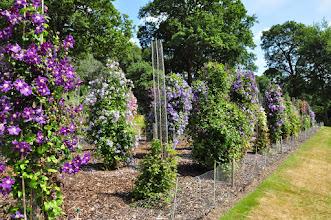Photo: Clematis proefvelden RHS gardens Wisley