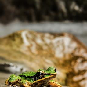 poisonous rock frog by Frederiko Ferry - Animals Amphibians ( tropical frog, frog, poison frog, amphibian, rock frog, river frog, animal )