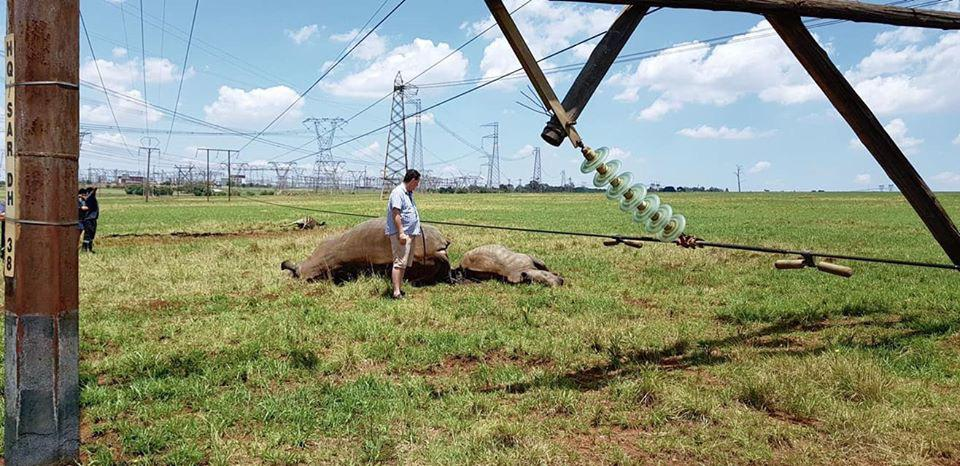 Rhino, calf and zebra electrocuted by collapsed power pylon in Tshwane - SowetanLIVE