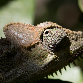 Chameleon by Francois Larocque - Animals Reptiles ( look, lizard, green, close up, chameleon, eye )