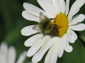 Photo: 25 Jun 13 Woodhouse Lane: To complete the quartet of bees feasting here is an ox-eye bee! (Ed Wilson)
