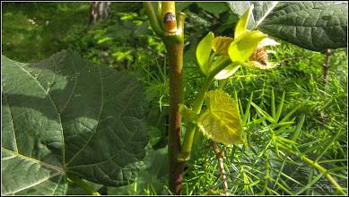 Photo: Tei cu frunza mare (Tilia platyphyllos) - din Turda, Calea Victoriei, nr.19, spatiu verde - 2019.05.24