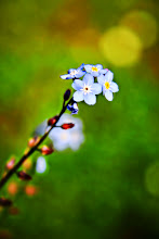 Photo: Forget me not - prints and cards here - http://www.inspiraimage.com/index.php/gallery/flowers/242-forget-me-not