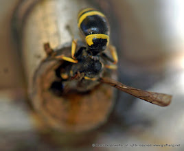 Photo: Das Insekt enrwickelt auch im Kopfstand eine unwahrscheinliche Ausdauer