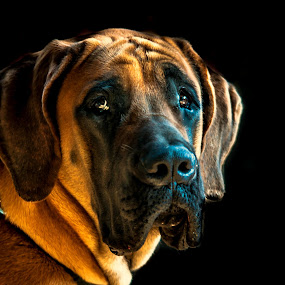 Maxie - An English Mastiff by Vijayanand Kandasamy - Animals - Dogs Portraits ( per, english mastiff, pet dog, mastiff dog, mastiff, dog,  )
