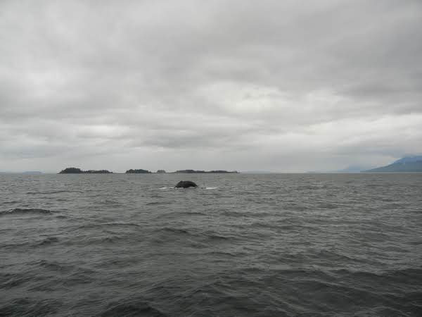 Whale, Not A Tuna, In Alaskian Waters.  What A Thrill!