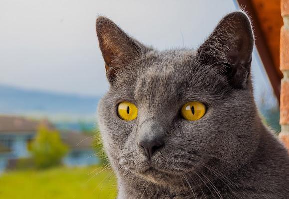 orange cat di franciariano