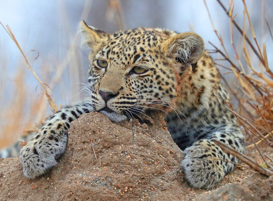 Leopard Cub by Anthony Goldman - Animals Lions, Tigers & Big Cats ( cub, leopard, 5 monthsold, nature, south africa., londolozi, big cat, wild, wildlife,  )