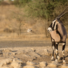 Gemsbok by Rute Martins - Animals Other Mammals ( waterhole, southafrica, oryx, gemsbok, kgalagadi,  )