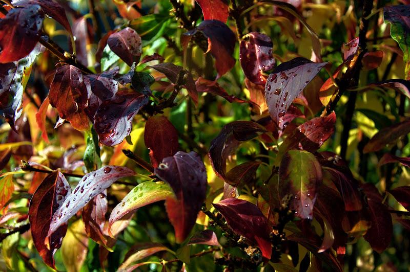 Photo: Le Jardin de mon frère ... automne ... feuilles après la pluie autumn ... leaves after the rain