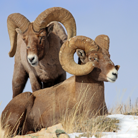 by Kirby Hornbeck - Animals Other Mammals ( animals, nature, wyoming, rams, bighorns, wildlife, sheep )