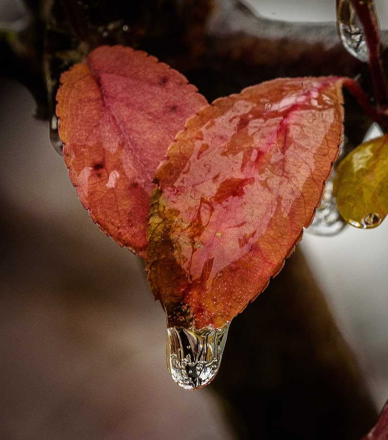 Icy fall leaves by Scott Fishman - Nature Up Close Leaves & Grasses