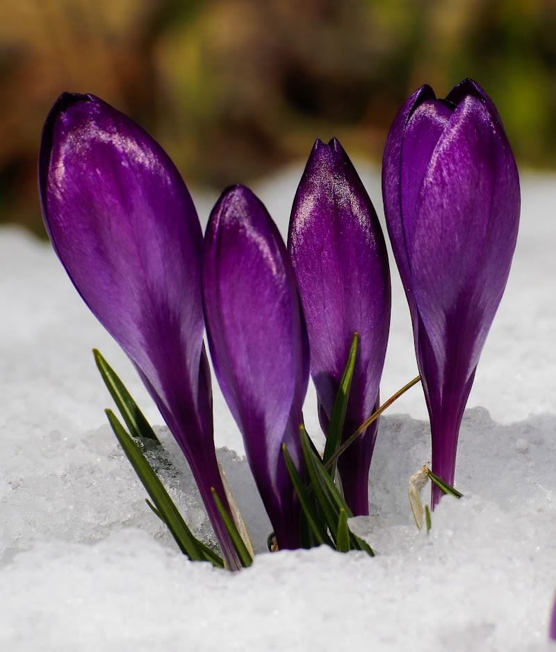 Spolveratina di neve sui crocus  di marina_foto