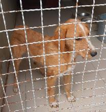 Photo: Manda,119-14,ženka,u tipu lovačkog oštrodlakog psa,stara oko 5 god.,dobrog temperamenta