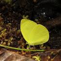 Tree Yellow ♂