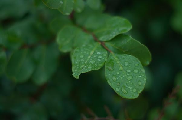 Pioggia sul carrubbo. di Melo
