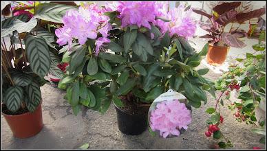 Photo: Azalee (Rhododendron) - din Piata Centrala Agroalimentara - 2017.05.11