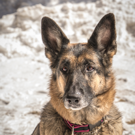 Snowed in by Myra Brizendine Wilson - Animals - Dogs Portraits ( pets, german shepherd dog, snow in north caroina mountains, mountains, mountain, beech mountain, dogs,  )
