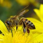 Abeja doméstica o abeja melífera