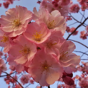 Light Pink Cherry Blossoms  by Matthew Beziat - Flowers Tree Blossoms ( spring flowers, anne arundel county, pink blossoms, anne arundel community college, arnold maryland, spring blossoms, cherry blossoms, arnold,  )