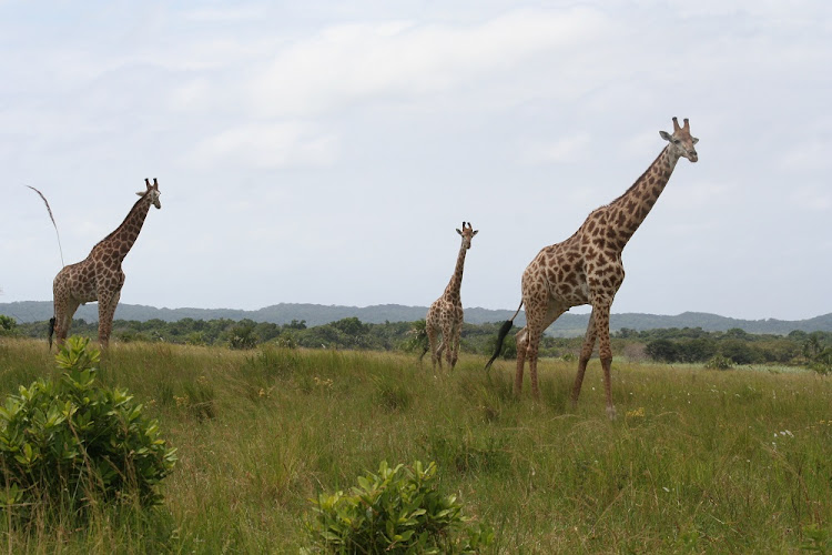 Giraffes on the Eastern Shores of Lake St Lucia, one of the many battlegrounds where Porter fought behind the scenes. Picture: SUPPLIED