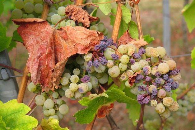 secheresse vigne