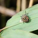 Graphosoma rubrolineatum 黑條紅椿象