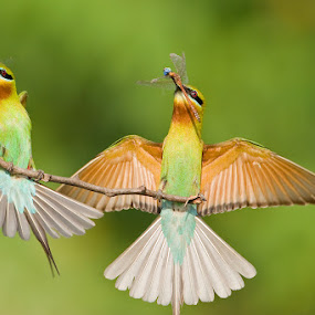Blue-tailed Bee-eaters by Angad Achappa - Animals Birds ( blue tailed bee eaters, nature, colors, hunting, action, wildlife, prey, dragonfly, birds, colours, animal, motion, animals in motion, pwc76,  )