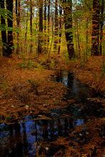 Photo: Pine needle carpet along a stream in autumn.