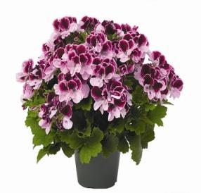 Image result for geranium regal purple majesty