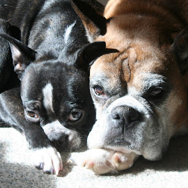 Best Pals by Lena Arkell - Animals - Dogs Portraits ( boston, boston terrier, boxer, resting, fawn, sleeping, brindle )