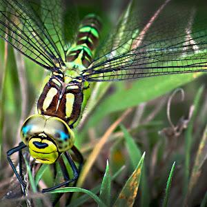 Southern Hawker Dragonfly.jpg