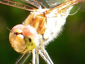 Photo: Un certain sourire ! Gros plan de la tête d'un sympetrum (libellule) à l'affût.