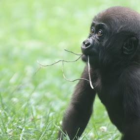 baby gorilla's new world  by Logan Williams - Animals Other Mammals ( baby gorilla, gorilla, baby, zoo animal, zoo )