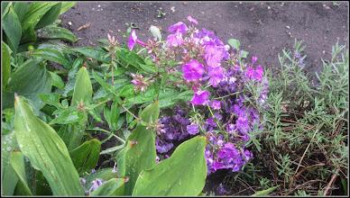 Photo: Brumărele:(Phlox: drumondii, paniculata) - din Turda, de pe Str. Rapsodiei - 2018.07.08