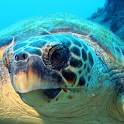 live sea turtle wallpaper icon