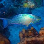 Queen parrotfish ♂️