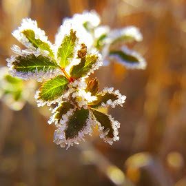Winter by Tiffany Whitehead - Nature Up Close Leaves & Grasses ( macro, nature light, winter, nature, snow, frost, nature up close, sun light, leaves, photography )