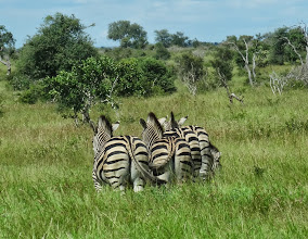 Photo: Zebras