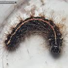 Black hairy moth caterpillar