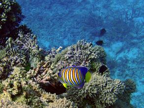 Photo: Pygoplites diacanthus (Regal Angelfish), Naigani Island, Fiji