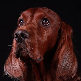 Simba by Ken Jarvis - Animals - Dogs Portraits ( doggie eyes, irish setter, dog portrait, irish, dog,  )