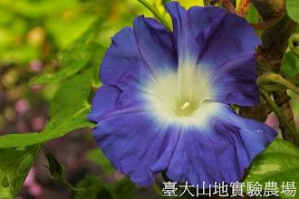 Photo: 拍攝地點: 春陽-可愛植物區 拍攝植物: 日本朝顏 宵月 拍攝日期:2013_07_30_FY