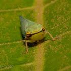 Tartessus Leafhopper