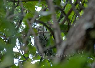 Photo: Autillo cariblanco norteño (Ptilopsis leucotis)