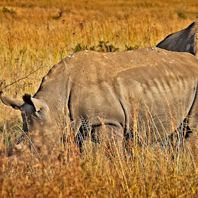 Grazing Giants by Anne-Marie  Fuller  - Animals Other Mammals ( rhino, nature, rhinoceros, nature photography, wildlife,  )