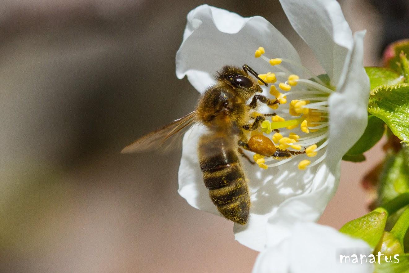 abeja polinizando