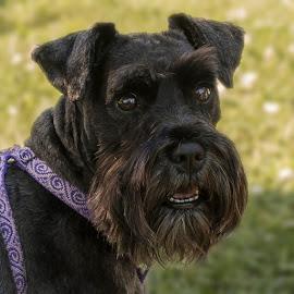 Sadie by Debora Garella - Animals - Dogs Portraits ( dog portrait, terrier, vermont, dog, sadie,  )