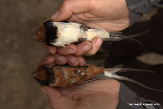Photo: Georgy's photo: Closeup of a Hirundo rustica rustica (top) and a Hirundo rustica tytleri (bottom), caught in the same barn