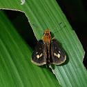 Spotted Grass Dart Butterfly